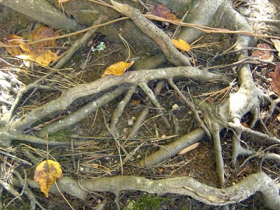 Fall Leaves and Roots by Zach Dotsey